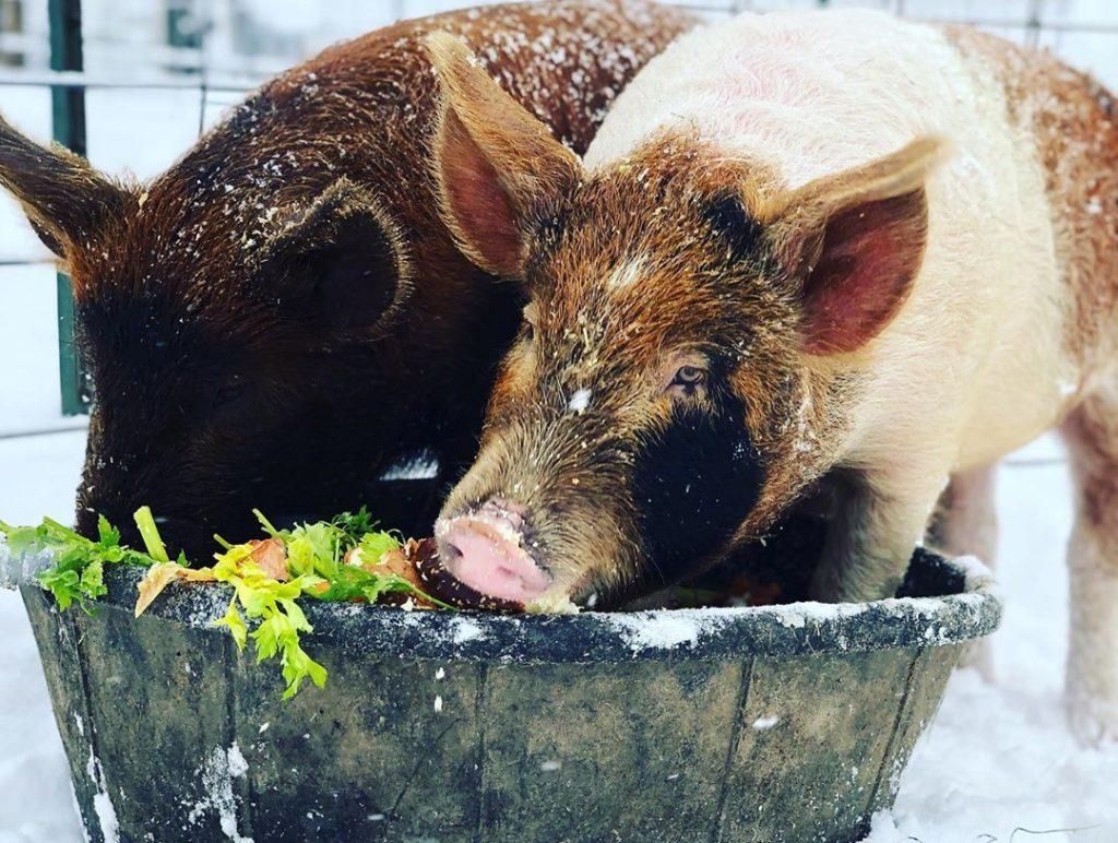 pigs eating in snow