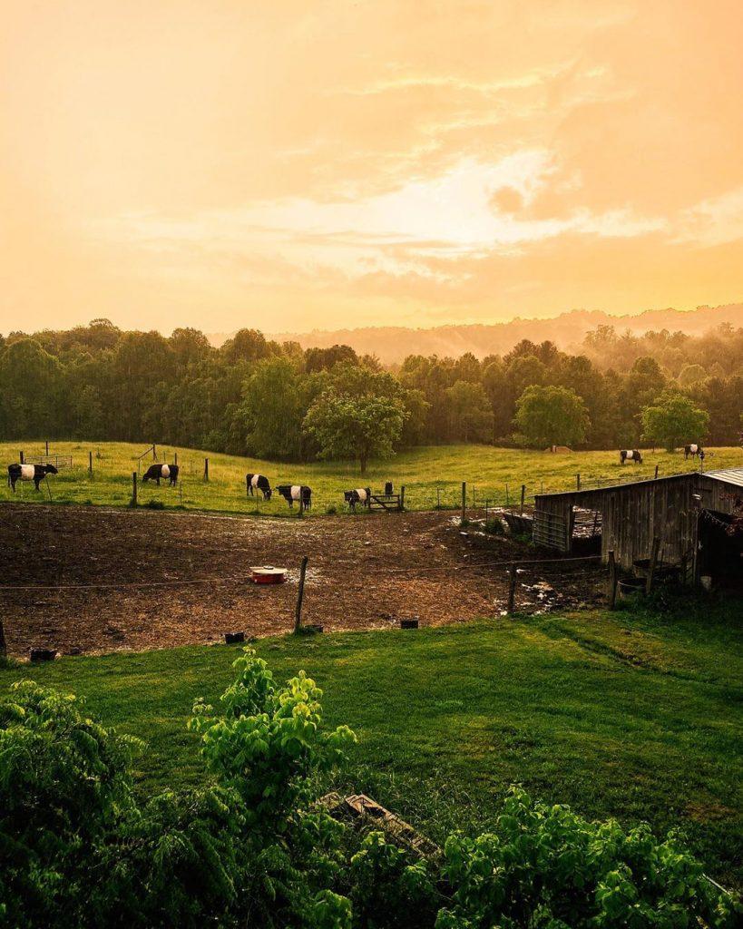 cow field sunset