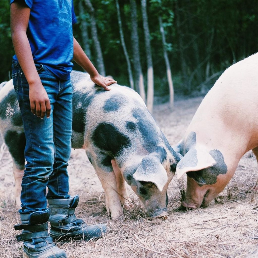 pigs and boy