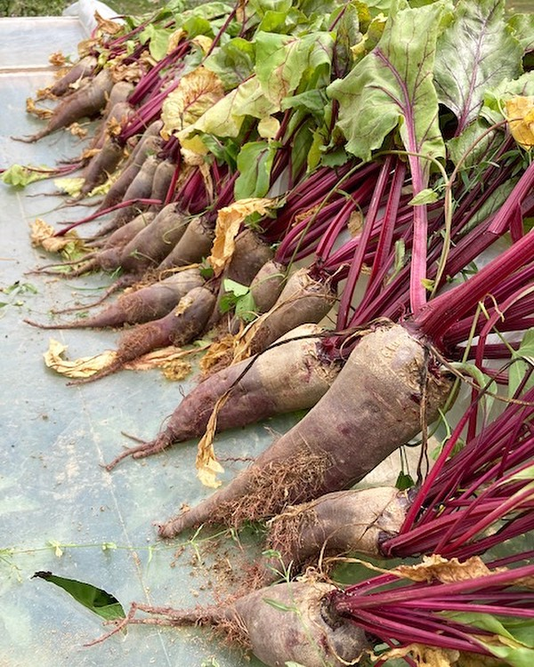 Radishes in group
