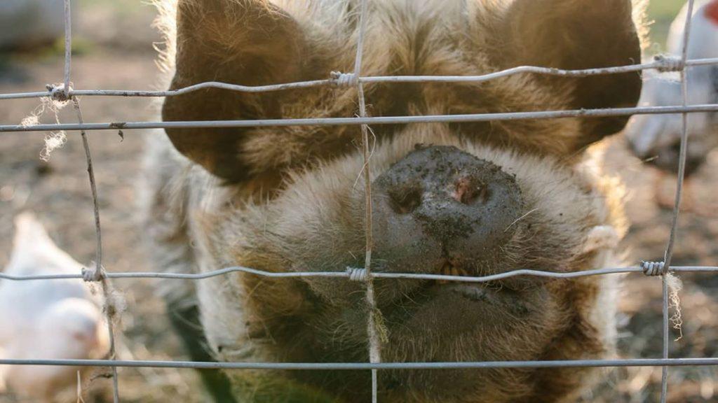 close up kunekune pig