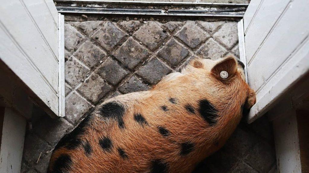 kunekune pig laying inside